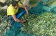 La raccolta delle olive ieri ed oggi